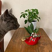 植物のある暮らし/朝の1枚/猫とインテリア/猫/冬の入口/カポック…などのインテリア実例