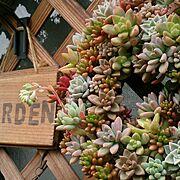 多肉リース/寄せ植え/ラティス /多肉の花/多肉植物/庭…などのインテリア実例