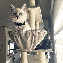 保護猫/ねこのいる日常/ねこと暮らす。/タンスのげん/ブラインド...などのインテリア実例 - 2021-01-21 12:52:14