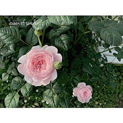 玄関/入り口/2017.05.17/イングリッシュローズ/クイーンオブスウェーデン/薔薇が好き...などのインテリア実例 - 2017-05-17 08:28:06