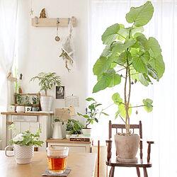 植物のある暮らし/ウンベラータ/シャビーシック/古道具/ダイニング...などのインテリア実例 - 2019-06-04 20:25:17
