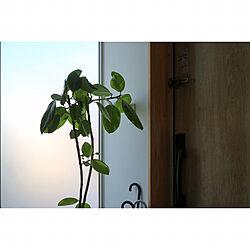 玄関/入り口/観葉植物/フィカスアルテシマのインテリア実例 - 2017-09-13 12:22:50