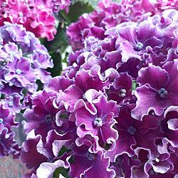 リビング/花のある暮らし/お花が大好き/ガーデニング/紫陽花...などのインテリア実例 - 2020-06-16 11:42:17