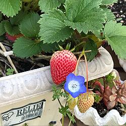 四季成りイチゴ/いちご/RCの出会いに感謝しています♡/植物のある暮らし/いいね&フォローありがとうございます♡...などのインテリア実例 - 2021-05-10 08:59:38