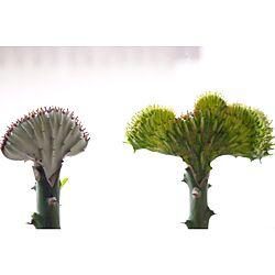 ホワイトゴースト/ユーフォルビア/ラクテア綴化/接ぎ木のインテリア実例 - 2014-08-07 21:09:28