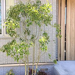 シンボルツリー/平屋/玄関/入り口のインテリア実例 - 2021-05-09 12:47:16