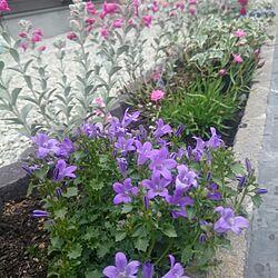 花壇/ベルフラワー/アナ/庭/フェアリーピンク...などのインテリア実例 - 2016-04-27 10:35:57