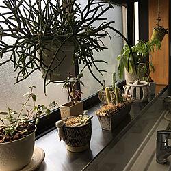2020.1.25⛅️/観葉植物/フラワーベース/出窓のグリーン/お気に入り...などのインテリア実例 - 2020-01-25 08:06:35