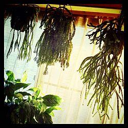 壁/天井/リコポディウム/植物/観葉植物/シダのインテリア実例 - 2014-05-04 00:42:20