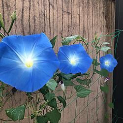 朝顔/ブルーの花/天上の蒼/見て頂きありがとうございます/癒しの空間...などのインテリア実例 - 2021-10-16 11:55:43