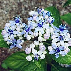玄関/入り口/庭/土壌でお色が変わります♪/今日明日は大雨って(((( ;゚д゚))/紫陽花の近縁種だそうです♪...などのインテリア実例 - 2020-06-18 09:01:38
