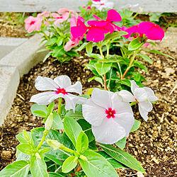 芝生の庭/コンクリートレンガ/花/庭/ガーデニング...などのインテリア実例 - 2020-06-05 02:10:39
