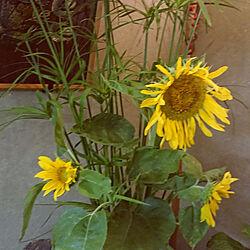 壁/天井/癒し/お花は癒し/お花大好き/畑のある暮らし...などのインテリア実例 - 2021-07-31 15:17:38