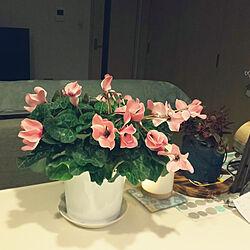 リビング/シクラメン/かわいいもの♡/ピンクの花/シンプルな暮らし...などのインテリア実例 - 2020-10-29 20:14:41