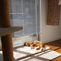 玄関/入り口/猫と暮らす/ねこのいる風景/猫/茶とら...などのインテリア実例 - 2020-01-11 18:40:39