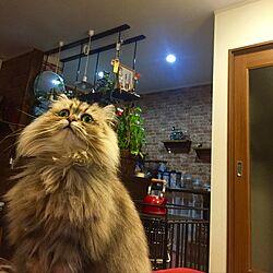 キッチン/ねこ/殺処分のない世界/ペルシャ猫/チンチラゴールデン...などのインテリア実例 - 2017-03-18 18:47:59