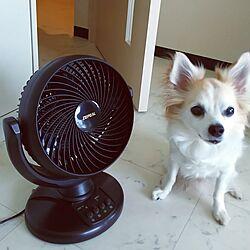 リビング/扇風機/サーキュレーター/いぬと暮らす/暑さ対策のインテリア実例 - 2017-07-01 11:18:59