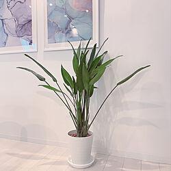 観葉植物のある暮らし/観葉植物/シンプルインテリア/白グレー/しろが好き*...などのインテリア実例 - 2020-05-30 18:42:37