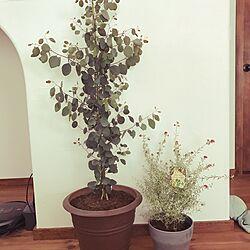 リビング/ラベンダー/ユーカリポポラス/観葉植物のある暮らしのインテリア実例 - 2017-03-25 08:46:52