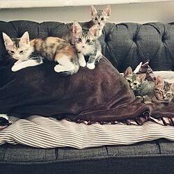 ソファー/子猫と暮らす❤/ソファーで悩む/汚れ防止対策!座面に長座布団。/ダークブラウンに飽きたな。のインテリア実例 - 2016-09-05 08:41:21