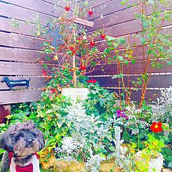 キッチン/花壇/クリスマス/garden/オリーブの木...などのインテリア実例 - 2017-11-21 07:23:20