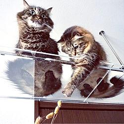 壁/天井/アクリルキャットウォーク/透明キャットウォーク/猫のためのDIY/猫と暮らすインテリア...などのインテリア実例 - 2017-12-16 21:30:22
