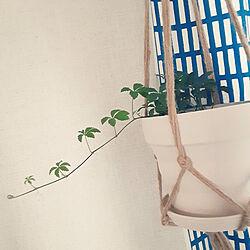 部屋全体/シュガーバイン/観葉植物/すきなものに囲まれた暮らし/ホルダー...などのインテリア実例 - 2021-09-16 06:56:24