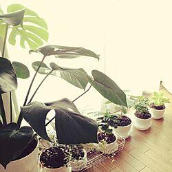 リビング/ワイヤープランツ/シュガーバイン/ポトスライム/観葉植物...などのインテリア実例 - 2015-07-21 05:30:33
