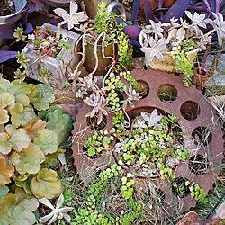 玄関/入り口/多肉植物初心者/植物/庭/アンティーク...などのインテリア実例 - 2018-10-25 16:41:16