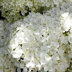 玄関/入り口/アナベル/花のある暮らし/庭のある暮らし/7月のインテリア実例 - 2019-07-08 10:18:22