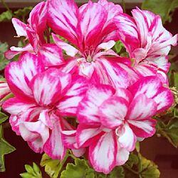 玄関/入り口/お庭の花/植物/ゼラニュウムのインテリア実例 - 2013-05-28 00:42:34