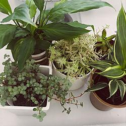 IKEA/観葉植物/多肉植物/ホワイトインテリア/3COINS...などのインテリア実例 - 2021-10-17 08:31:48
