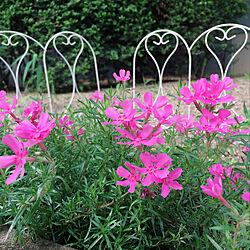 芝桜/好きなものに囲まれて/古い賃貸で楽しく暮らす♪/皆さんとの繋がりに感謝♪/いつも見てくれてありがとう...などのインテリア実例 - 2019-09-16 16:13:37