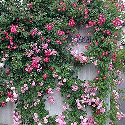 玄関/入り口/自然風/花/北欧/薔薇...などのインテリア実例 - 2015-06-05 15:48:59