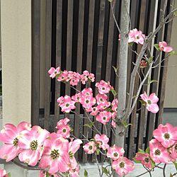 玄関/入り口/花が咲きました♫/ハナミズキのインテリア実例 - 2013-05-01 11:48:37