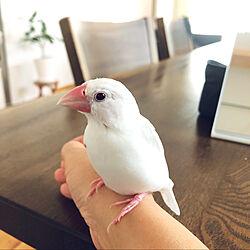 文鳥/ペットと暮らすインテリア/シンプルが好き/シンプルインテリア/グリーンのある暮らし...などのインテリア実例 - 2021-05-17 22:44:57