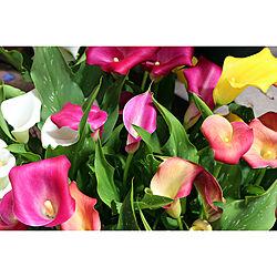 カラー/花/観葉植物/園芸/ガーデニング...などのインテリア実例 - 2019-05-08 10:36:50