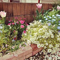 花壇/チューリップ/ネモフィラ/春の庭のインテリア実例 - 2020-05-22 17:18:10