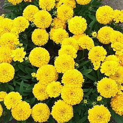 コレオプシス/花/お花/植物/宿根草...などのインテリア実例 - 2019-05-17 23:31:03