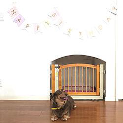 シニア犬/わんこ部屋/階段下スペース/HappyBirthday/ダイソー...などのインテリア実例 - 2019-03-07 15:39:42