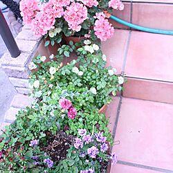 玄関/入り口/ゼラニューム/グリーンアイス/植物/薔薇...などのインテリア実例 - 2014-06-08 17:21:03