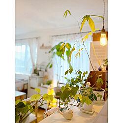 natural kitchen/ウンベラータ/パキラ/ディスプレイコーナー/キッチンカウンター...などのインテリア実例 - 2020-04-13 21:59:35