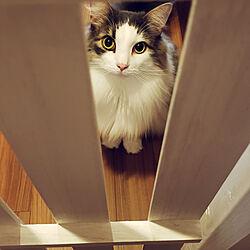 玄関/入り口/猫/猫との暮らし/猫のいる風景/猫との生活...などのインテリア実例 - 2019-11-19 19:18:47