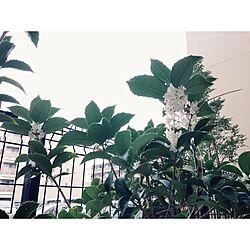 玄関/入り口/植物/生垣/銀木犀のインテリア実例 - 2014-11-02 00:32:35