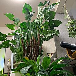 観葉植物のある暮らし/クワズイモが伸び伸び/一人でまったり時間/お気に入りの場所/癒される〜♡...などのインテリア実例 - 2021-09-18 20:52:53