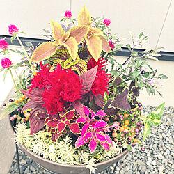 とうがらし寄植え/コリウスの寄せ植え/コリウス/ケイトウ/花がある生活...などのインテリア実例 - 2019-06-27 06:09:10