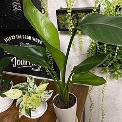 ストレチア オーガスタ/気軽にフォローしてください♪/気軽にコメント下さい/植物飾りたい/観葉植物...などのインテリア実例 - 2021-06-12 20:34:13