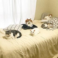 オッドアイ/猫と暮らす/猫のいる日常/猫のいる暮らし/猫...などのインテリア実例 - 2020-10-09 23:13:54