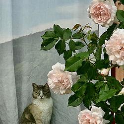 バラが大好き/マダムアルフレッドキャリエール/バラ/縁側ウッドデッキ/お外が好き...などのインテリア実例 - 2020-05-16 00:02:15