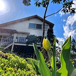 チューリップ/ブルー/景色/庭/花と緑のある暮らし...などのインテリア実例 - 2020-04-27 21:51:53
